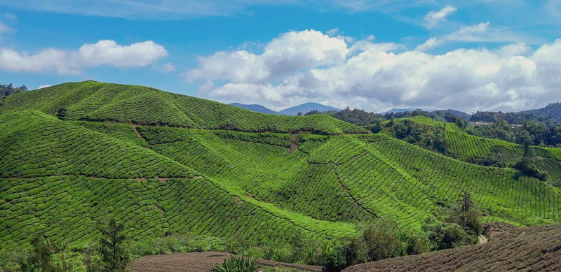 I think Cameron Highlands is not a very popular tourist destination in Malaysia.However, there are plenty of things to do in Cameron Highlands.