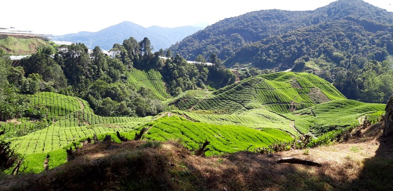 I think Cameron Highlands is not a very popular tourist destination in Malaysia. However, there are plenty of things to do in Cameron Highlands.